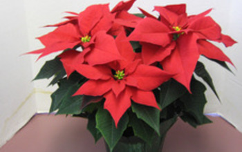 Manage campaigns pic small cortez red poinsettia 6 inch