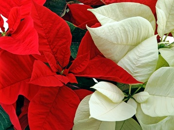 Normal 1384828381 red and white poinsettias