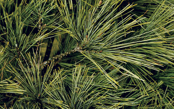 Manage campaigns pine needle