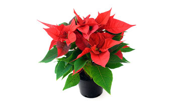 Manage campaigns poinsettia