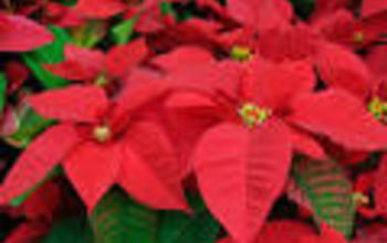 Manage campaigns poinsettias