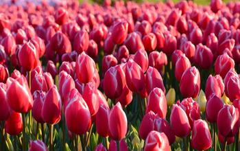 Manage campaigns tulips