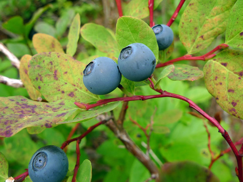 MM PacificNW Ripe Blueberries - Fruit Spread