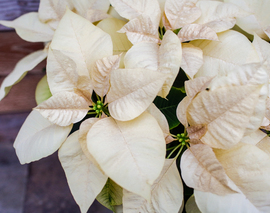Card image poinsettia white closeup 2019 204