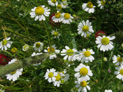 Herb, German Chamomile-HB118