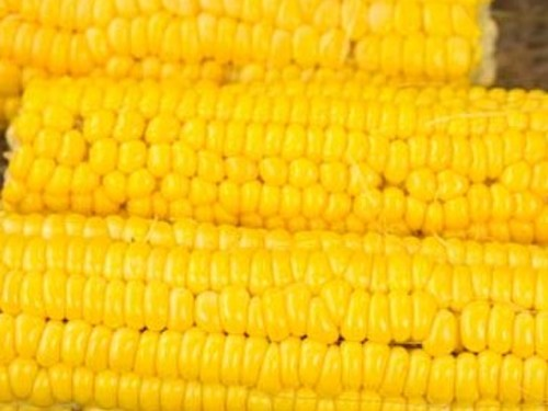 Corn, Golden Bantam 12-Row-CN143
