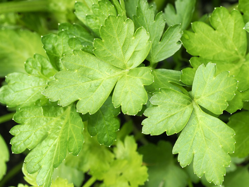 Herb, Parsley Giant of Italy-HB133
