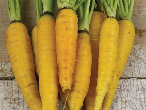 Carrot, Amarillo-CR114