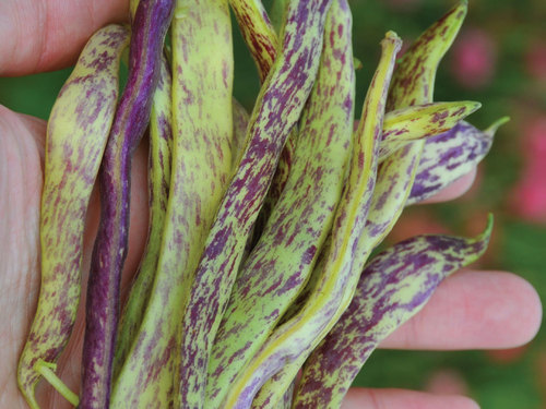 Bean, Dragon Tongue Bush-BN126