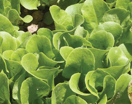 Card image lettuce  buttercrunch lt155