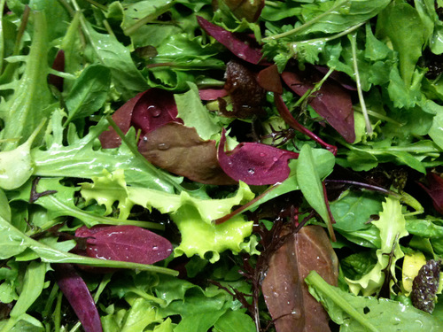 Salad Blend, European Mesclun Mix-SB101
