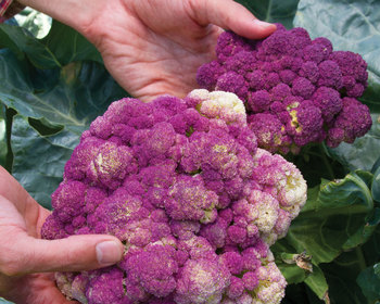 Market card ca103 cauliflower purple of sicily