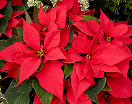 Card image red poinsettias
