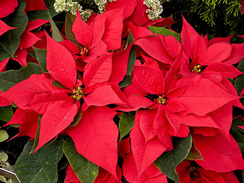 "6"" Red Poinsettias"