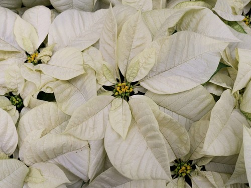 "6"" White Poinsettias"