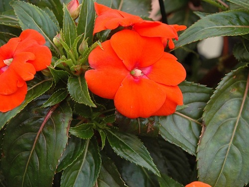 "10"" Orange New Guinea Impatiens Hanging Basket"