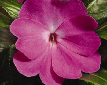 Market card purple impatiens