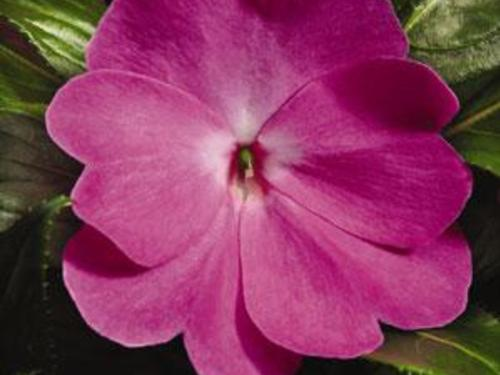 "10"" Purple New Guinea Impatiens Hanging Basket"