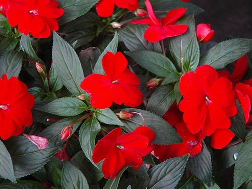 "10"" Red New Guinea Impatiens Hanging Basket"
