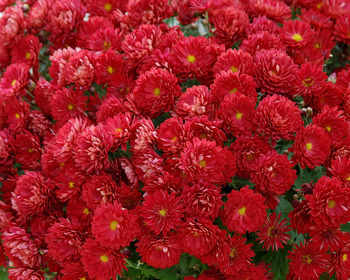 Market card red mums