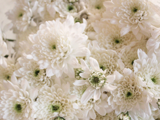 Small white mums