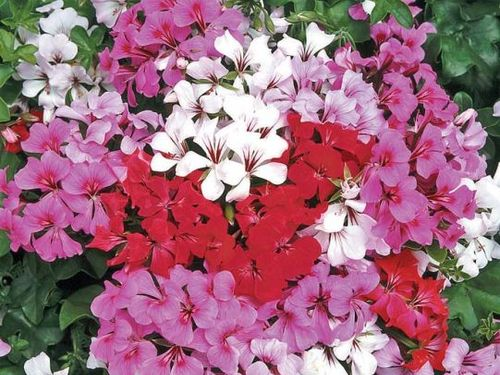 "10"" Hanging Basket Ivy Geranium (Pastel Colors)"