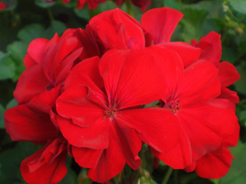 "10"" Red Geranium & Ivy Hanging Basket"