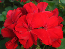 Small calliope geranium red