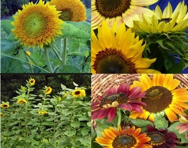 Card image sunflower mix