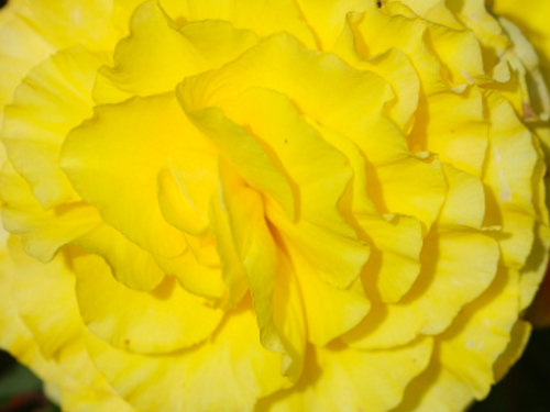 "10""  Yellow Non Stop Begonia  Basket"