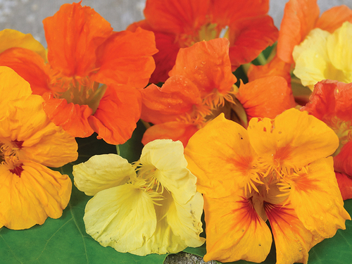 Tall Trailing Mix Nasturtium-FL511
