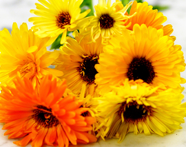 Card image flower calendula pacific beauty reduced