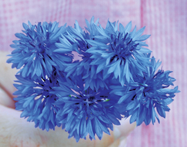Card image flower bachelors button blue reduced