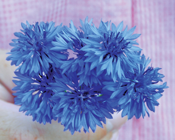 Market card flower bachelors button blue reduced