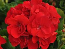 Small 4.5 red geranium