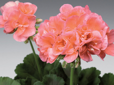 Small 4.5 salmon geranium
