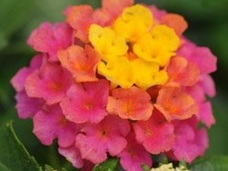 Small 4.5 sunrise lantana