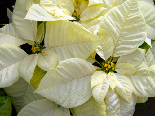 "6.5"" White Poinsettia"