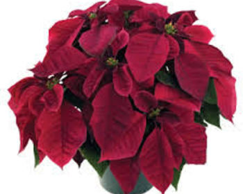 Market card burgundy poinsettia