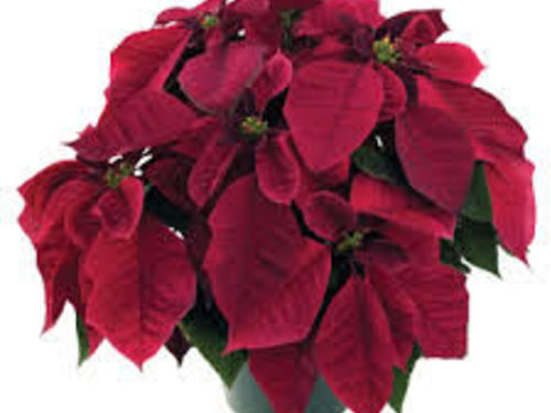 "6.5"" Burgundy Poinsettia"