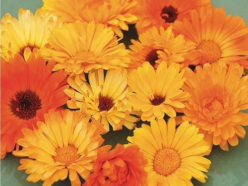 DO NOT SELL Pacific Calendula
