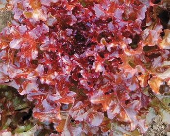 Market card red salad bowl lettuce