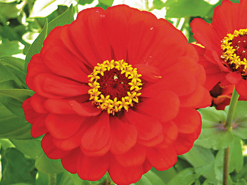 DO NOT SELL Red Scarlet Zinnia