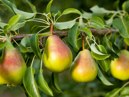 MM PacificNW Ripe Pears - Fruit Spread